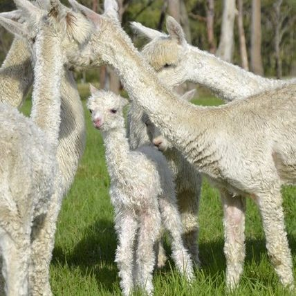 Bumble Hill Alpacas with Crea