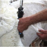 Shearing Merino Sheep